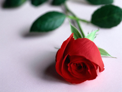 песни лоя розы темно алые текст: