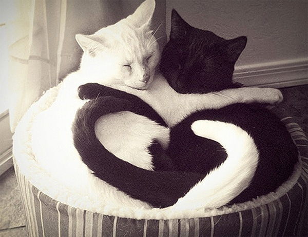 Yin and yang love cats